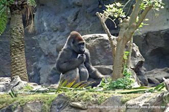 Photo: Gorilla gorilla