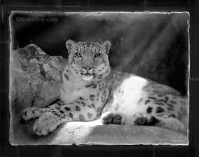 Photo: Snow Leopard