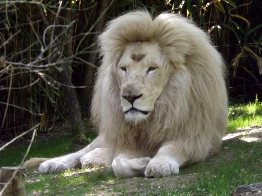 Lion blanc, zoo de la Flèche - Tous droits réservés