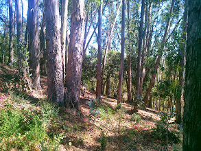 Photo: Managed eucalypti