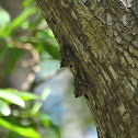 Proboscis (Long-nosed) Bat