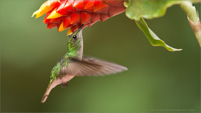 Photo: Superb Hummingbird Photography Opportunities in Costa Rica!  Thanks to everyone on G+ for clicking and sharing my images!  Join me on tour to see the most beautiful birds in the world! Best wishes, and please help respect and save nature!  Coppery-headed Hummingbird RJB Costa Rica Photo Tours  www.raymondbarlow.com 1/1000s f/5.6 at 400.0mm iso2500  #hummingbird  #canada #hqspbirds #workshop #raymondbarlow #costarica  #travel #adventure  #whatshot #nature #wildlifephotographers #wildlife #birdloversworldwide  #birdsinflight #birdsgallery   #photomaniacanada #naturephotography #birds #wildography #flight  #birdphotographs  #googlephotos #travelphotography  #circleshare #circleoftheday