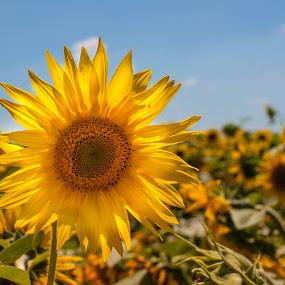 Suncokret by Krešimir Šarčević - Nature Up Close Flowers - 2011-2013