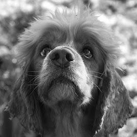 Oscar's Chin by Chrissie Barrow - Black & White Animals ( muzzle, monochrome, black and white, cocker spaniel, mouth, greys, bokeh, portrait, eyes, pet, fur, ears, dog, mono, nose, animal )