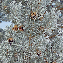 Frosty Cones by Kirby Hornbeck - Nature Up Close Trees & Bushes ( winter, wyoming, frost, pine cones, trees,  )