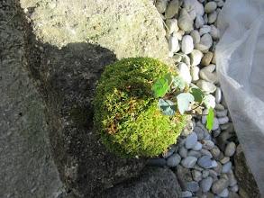 Photo: kokedama plante capucine   tarif 10 euros