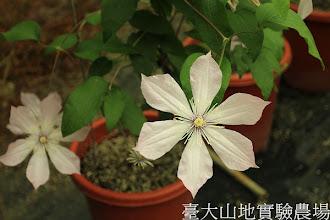 Photo: 拍攝地點: 梅峰-溫帶花卉區 拍攝植物: 鐵線蓮 拍攝日期:2012_05_19_FY