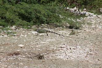 Photo: Iguana escapando