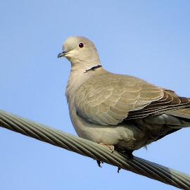 Mourning Dove by Cynthia Dodd - Novices Only Wildlife ( dove, nature, bird, animal, wildlife,  )