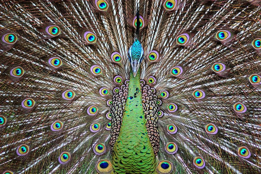 Merak by Putu Yustiantara - Animals Birds