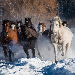 Stampede by John Klingel - Animals Horses ( winter, horses, montana, snow, rodeo horses )