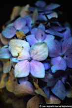 Photo: My contribution to #FloralFriday curated by +Tamara Pruessner   A bit tattered and torn, these hydrangeas looked like they could use some love. So I grabbed the camera and the rest is history as they say.