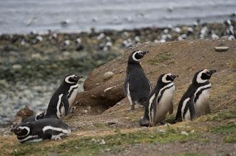 Photo: ...except for 50,000 pairs of Magellanic penguins