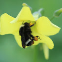 Yellow Faced Bumblebee