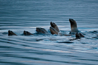Photo: A band of sea lions swam around the Shearwater dock, keeping us entertained for a good part of an hour.