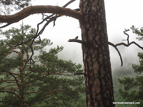 Photo: A nuthatch silhouettes against the fogs of the Arshan highlands