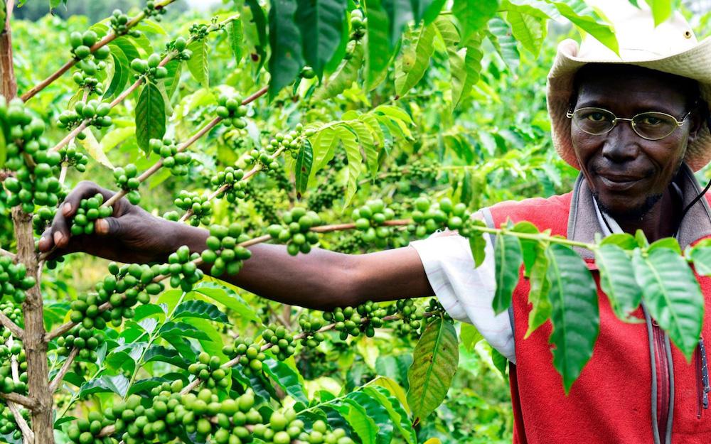 agricultor de café de tanzania