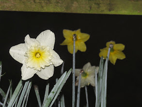 Photo: Priorslee Lake Daffodil still with dew on it. (Ed Wilson)