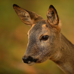 Does eye by Bencik Juraj - Animals Other Mammals ( doe, mammal, eye, deer,  )