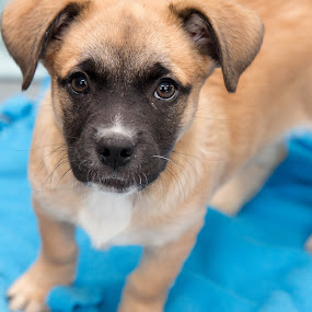 adopt don't shop by Michele Williams - Animals - Dogs Portraits ( rescue, puppy, cute, dog, nose, black, tan, eyes )