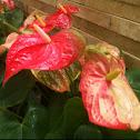 anthurium, tailflower, flamingo flower