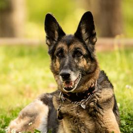 GSD Looking Good by Myra Brizendine Wilson - Animals - Dogs Portraits ( german shepherd dog, pets, grass, dogs, gsd, canine, dog, pet )
