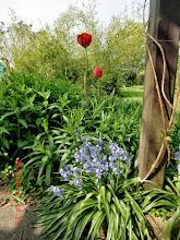 Photo: Naturgarten Düsseldorf Lohausen, die letzten Tulpen der Vorbesitzerin 1962-2001