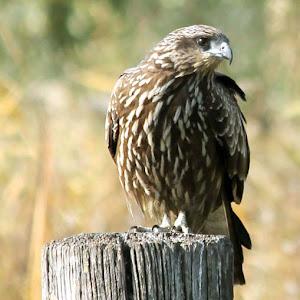 Eagle pixoto.jpg