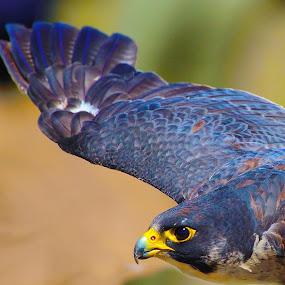 by Johann Fouche - Animals Birds ( falcon, attacking birds, hawk,  )