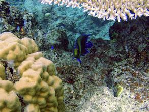 Photo: Pomacanthus semicirculatus (Koran Angelfish), Naigani Island, Fiji