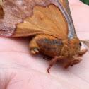 Io Moth?