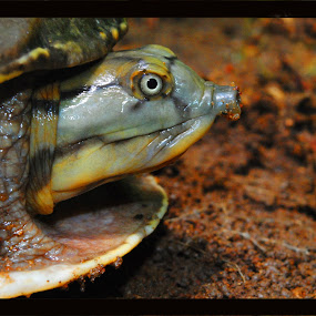 turtle by Abinash Patra - Animals Other ( water, animals, nature, wildlife, birds )