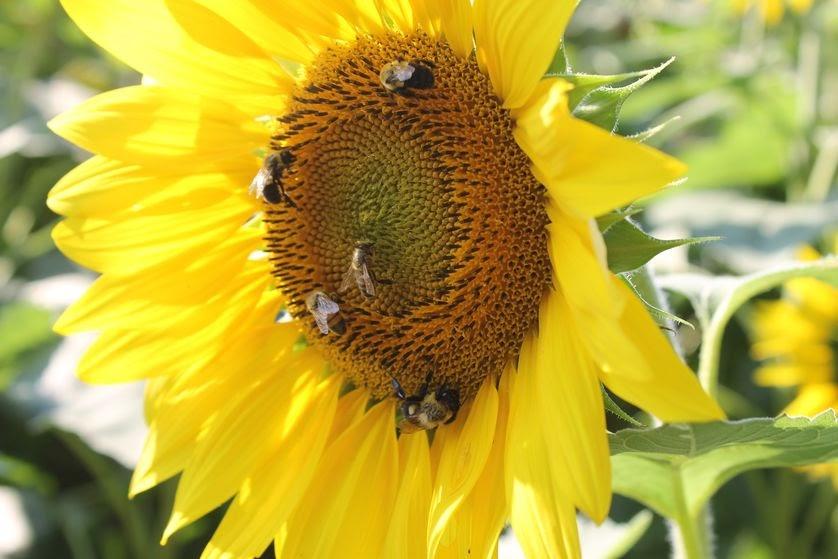 Inilah 10 Bunga Kesukaan Lebah Madu Dalam Penyerbukan 4muda Com