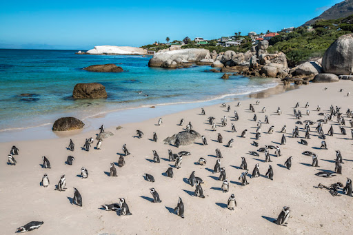 Cape honey bees suspected to have killed 63 African penguins