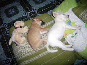 """Photo: Let Sleeping Dogs Lie +Fido Friday#fidofriday Curated by +Wes Lum +mel peifer& +Lisa Lisa:- Thought I'd share one of my silly photographs with you today. This is an image I captured in our house high up in the mountains of Omkoi in Thailand. Our two puppies """"Brownie"""" & """"Pu Fei"""" were taking an evening nap on my Thai cushion / lounger and my wife's """"Frog"""" pillow when my step daughter """"Kaem"""" came running in and placed her toy dog with them. It made for such a great image I grabbed the shot (had to use the flash). This was taken on the June 11th 2011. """"Pu Fei"""" is unfortunately no longer with us, she was a beautiful and highly intelligent white puppy. However, """"Brownie"""" is still going strong and is as stupid as ever.  Photography by Justin Hill ©"""
