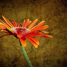 Sunshine by Sharon Pierson - Nature Up Close Flowers - 2011-2013 ( orange, single, texture, daisy, gerber, flower, nature, flowers )