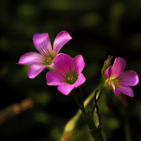 Oxalis Species by Sanjib Laha - Flowers Flowers in the Wild