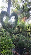 Photo: Ligustrum Jonadrum Forma Luce - Topiary - din Parcul Tineretului, Expo Flora - 2017.08.11