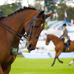 by Jasmine Graham - Animals Horses ( bay, horse, show, compete )