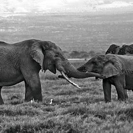 Elephant Hug by Pravine Chester - Black & White Animals ( elephants, monochrome, black and white, wildlife, africa, animal )