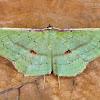 Seagrape spanworm moth