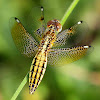 Blue-Tailed Yellow Skimmer
