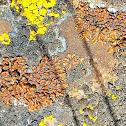 Honey rim-lichen