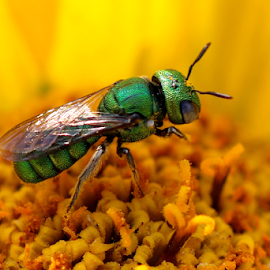 Green Sweat bee by Vivek Sharma - Animals Insects & Spiders ( vivekclix, sweat bee, nature, green sweat bee, jewel bee, beauty in nature, insects, green bee,  )