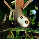 Silky Owl