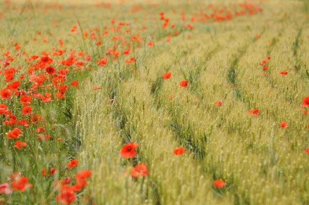 Da.. La ginestra, o fiore del deserto. di Paolo Zanoni