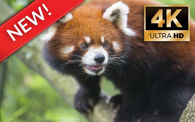 Panda Wallpapers HD/4K Panda Themes