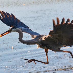 Got one fishy fishy!! by Olivier Grau - Animals Birds ( bird, water, wildlife, fishing, heron, bird photography,  )
