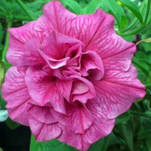 Image result for petunia sweet sunshine hot pink