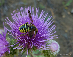 Photo: Crabronid Wasp on thistle.